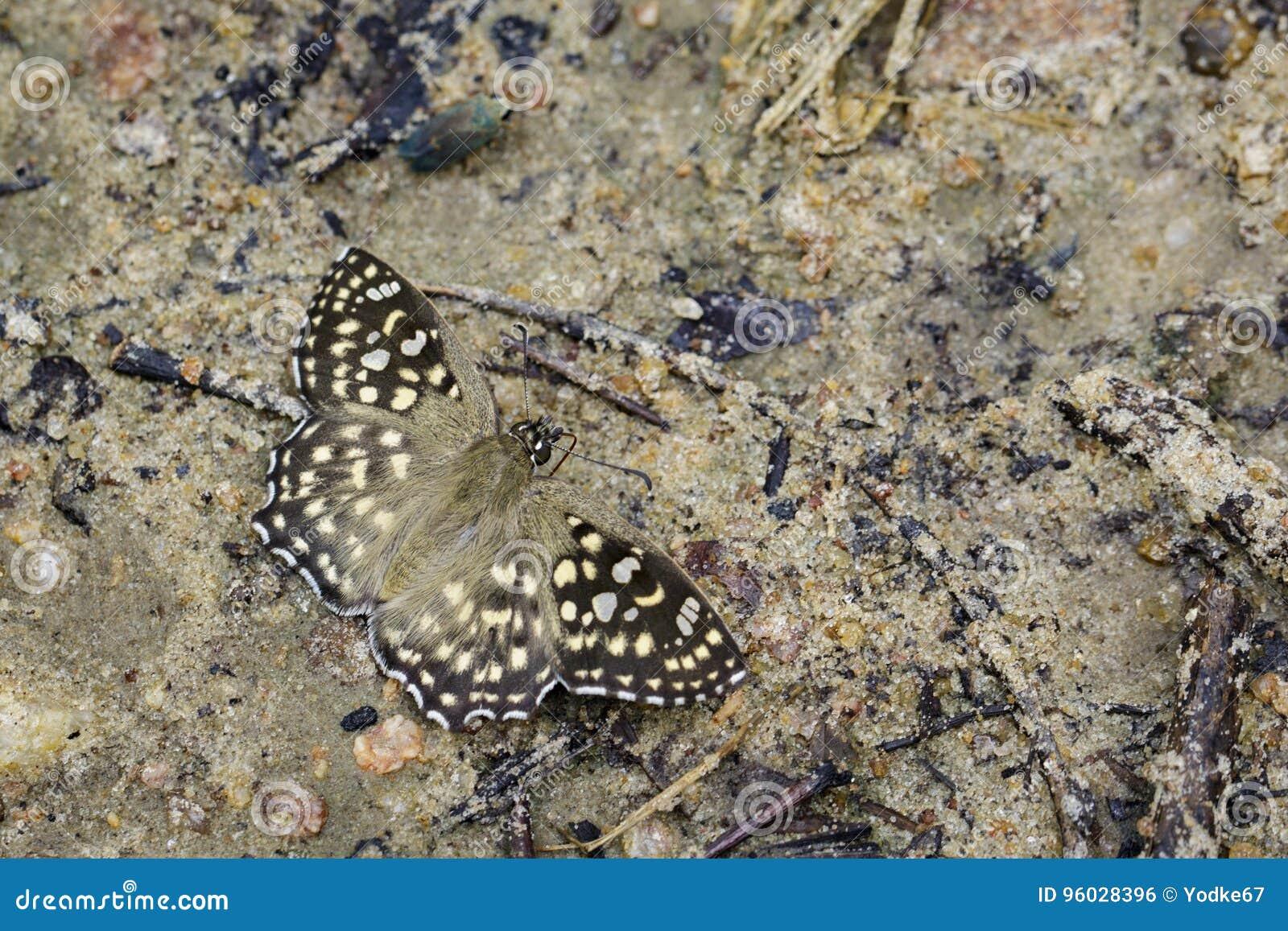Wizerunek Łaciasty kąta motyl