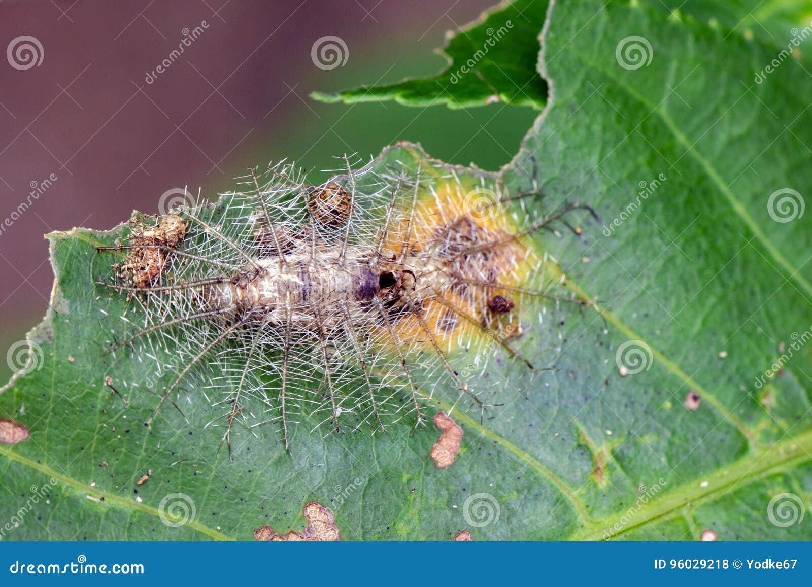 Wizerunek archduke gąsienicowy nieboszczyk na zielonych liściach insekt