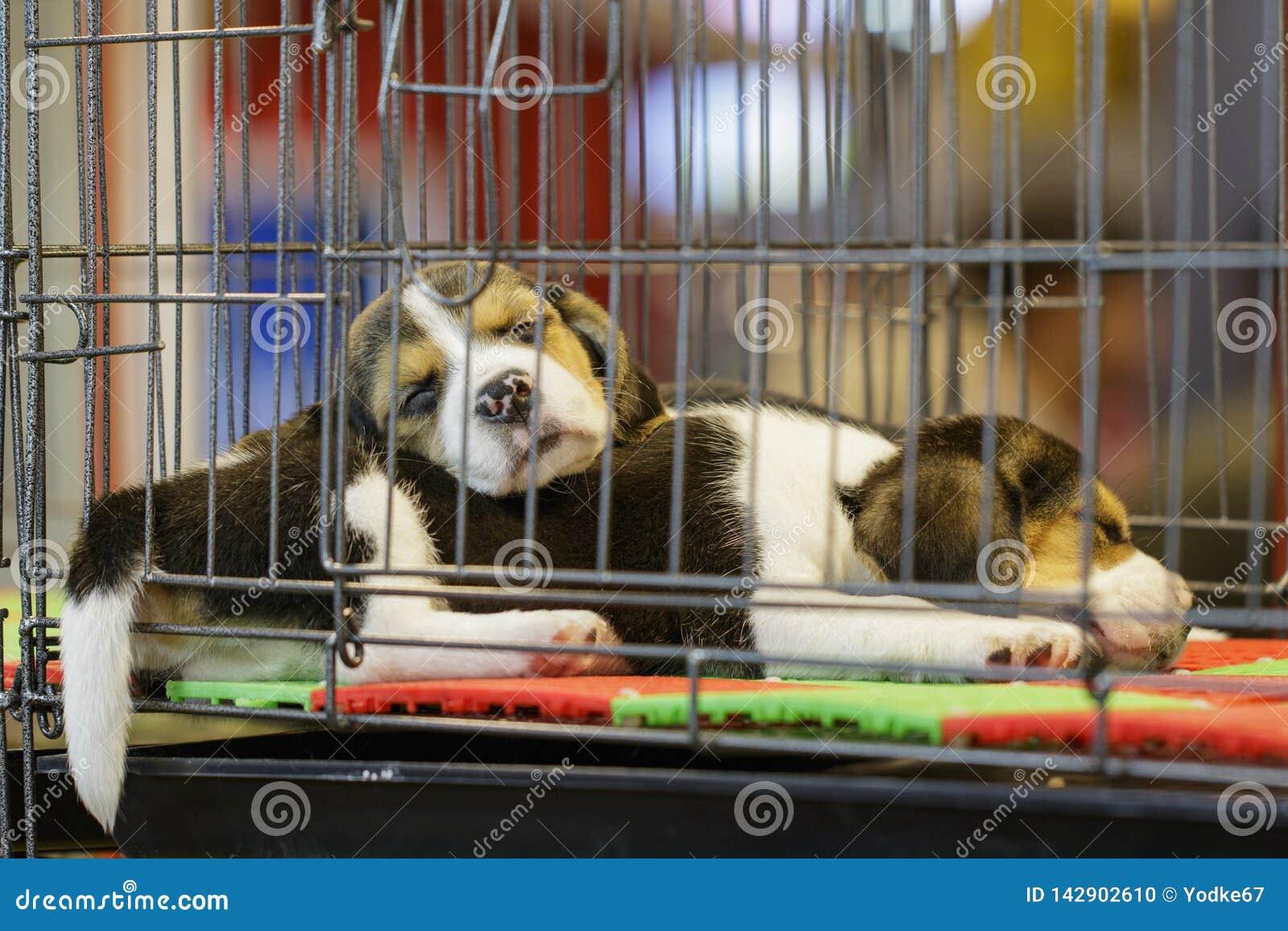Wizerunek beagle szczeniak jest w klatce Pies pet zwierzęta
