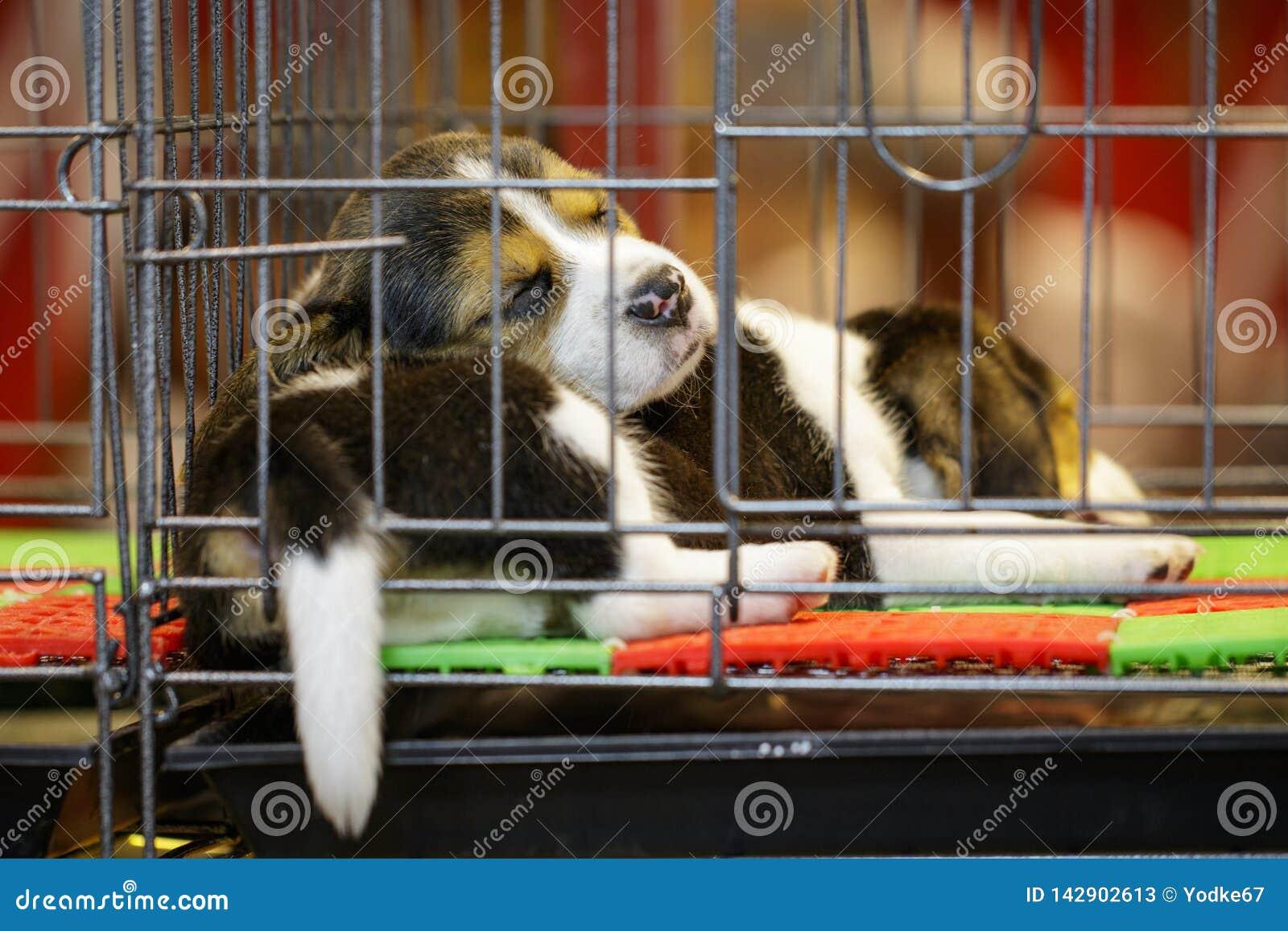 Wizerunek beagle szczeniak jest w klatce Pies pet zwierz?ta