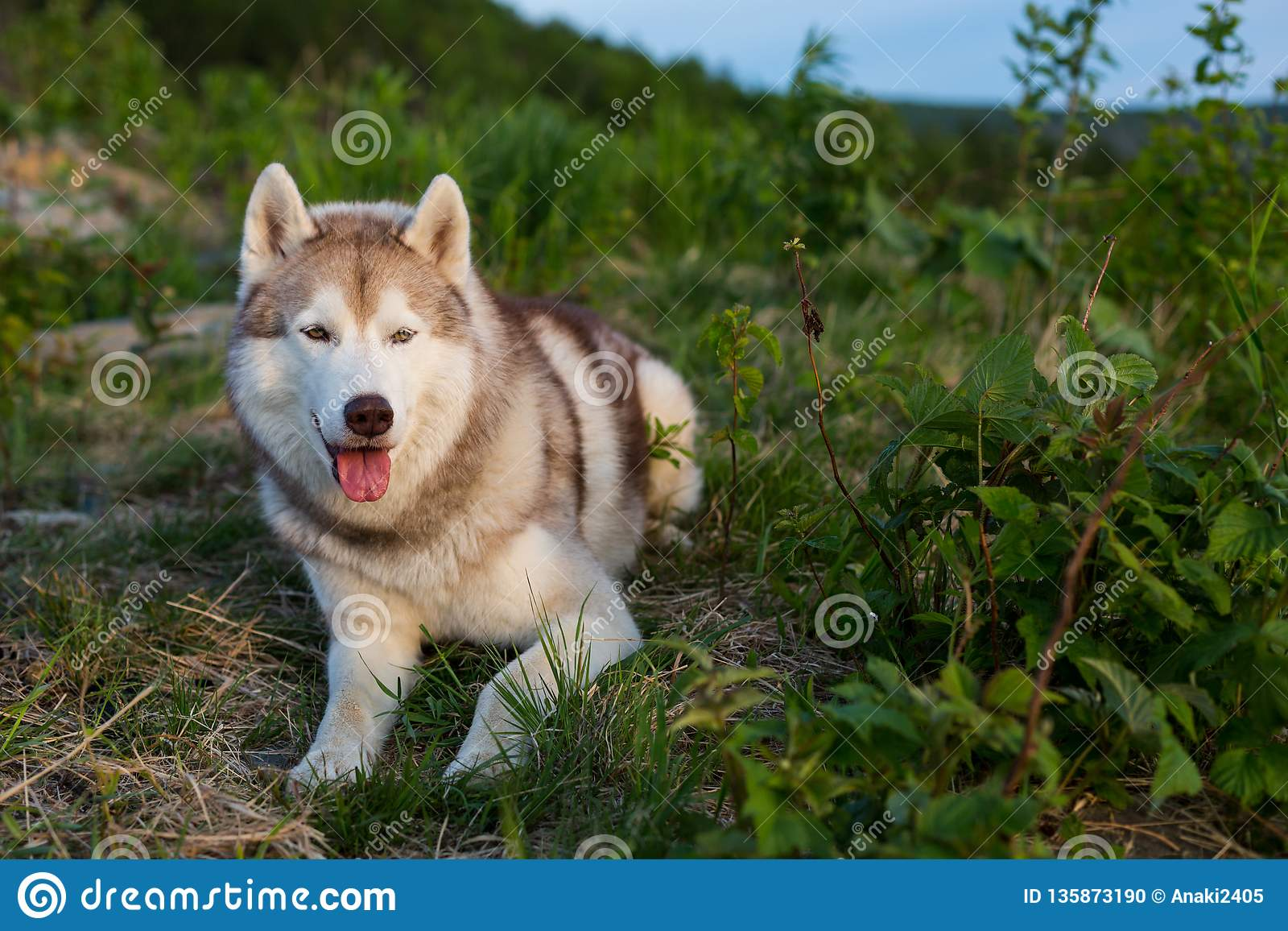 Wizerunek bezpłatny, prideful Syberyjskiego husky psa lying on the beach na wzgórzu w zielonej trawie przy zmierzchem i