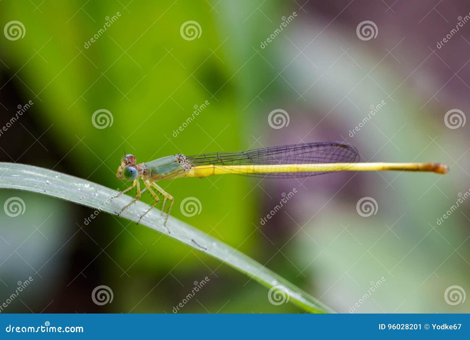 Wizerunek Ceriagrion coromandelianum dragonfly