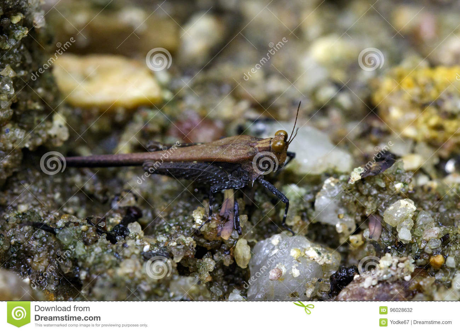 Wizerunek ciemnego brązu grasshopperAcrididae na piasku insekt