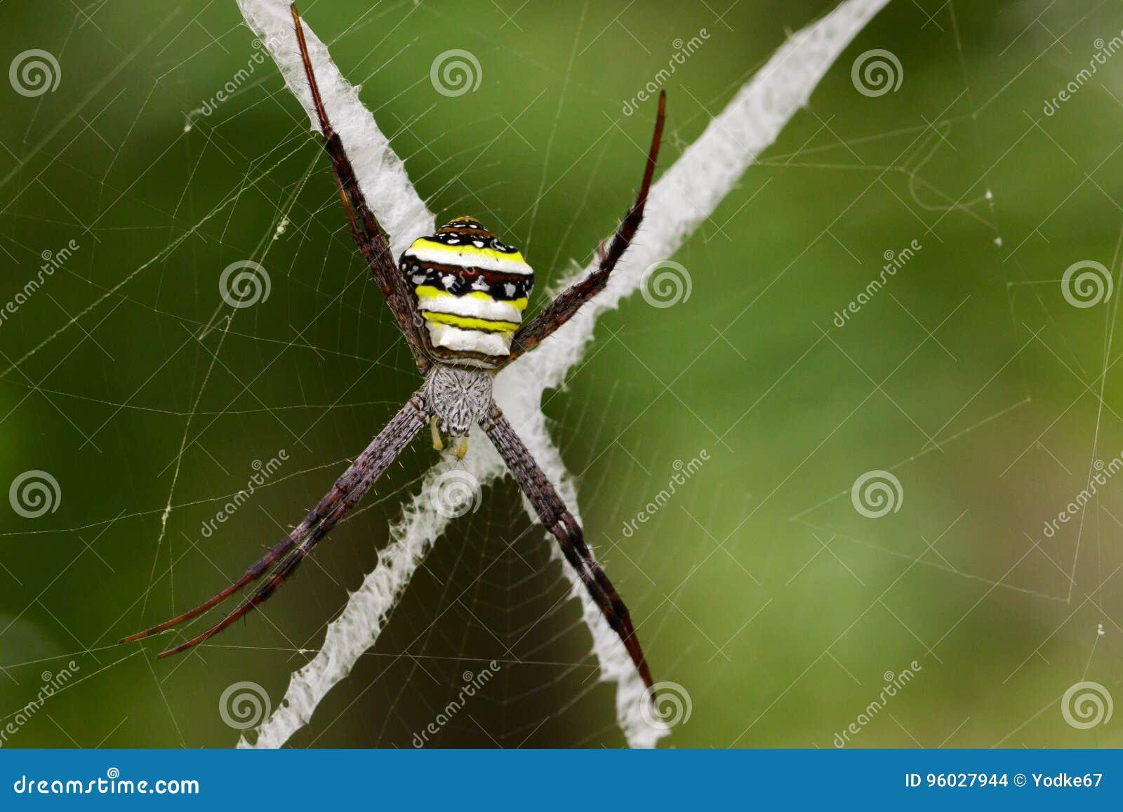 Wizerunek coloured argiope pająk