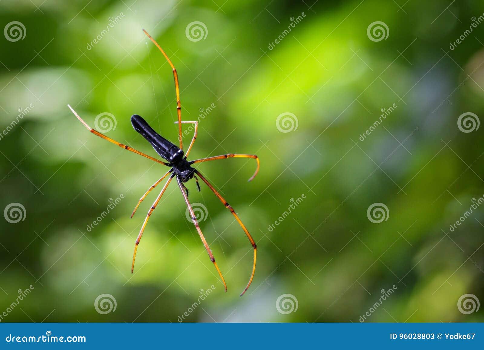 Wizerunek Czarny tkacza pająk