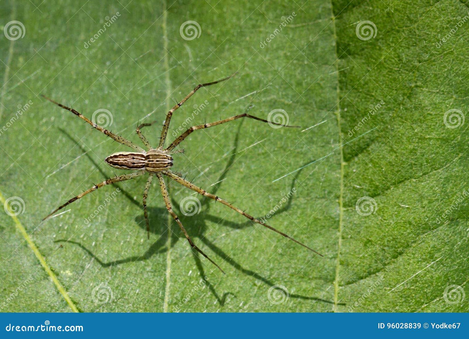 Wizerunek Dostrzegający pepiniery sieci pająk