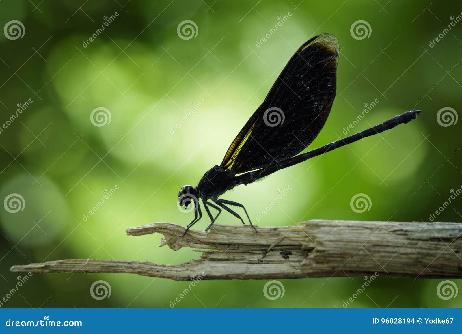 Wizerunek Euphaea Masoni Dragonfly