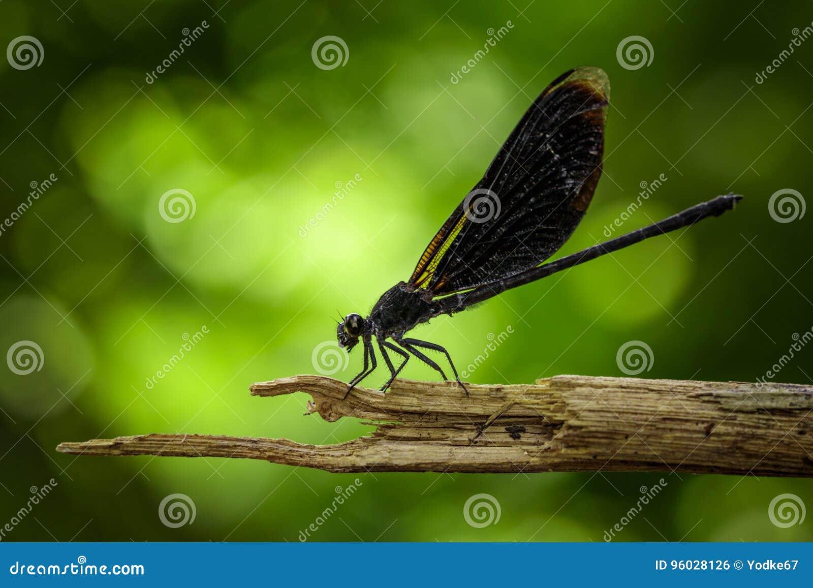 Wizerunek Euphaea Masoni Dragonfly na suchych gałąź