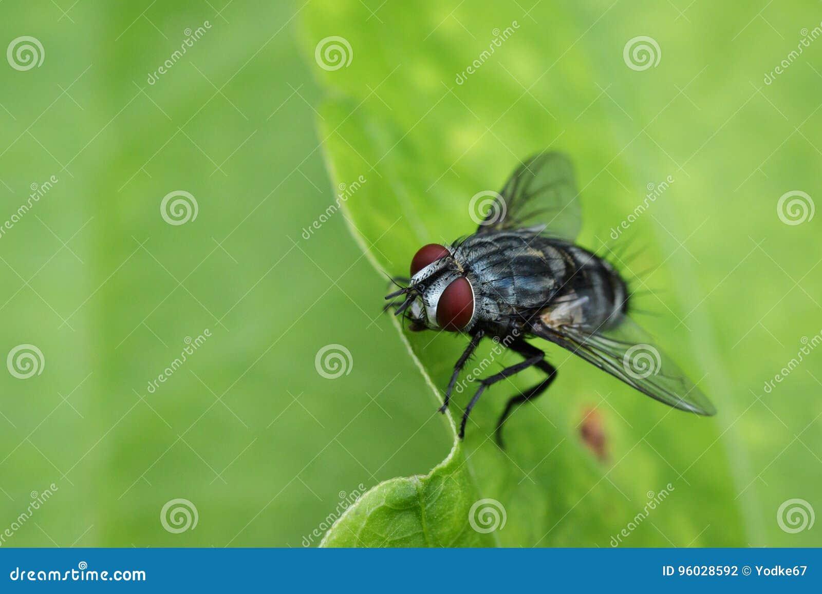 Wizerunek komarnica dwuskrzydłe na zielonych liściach insekt
