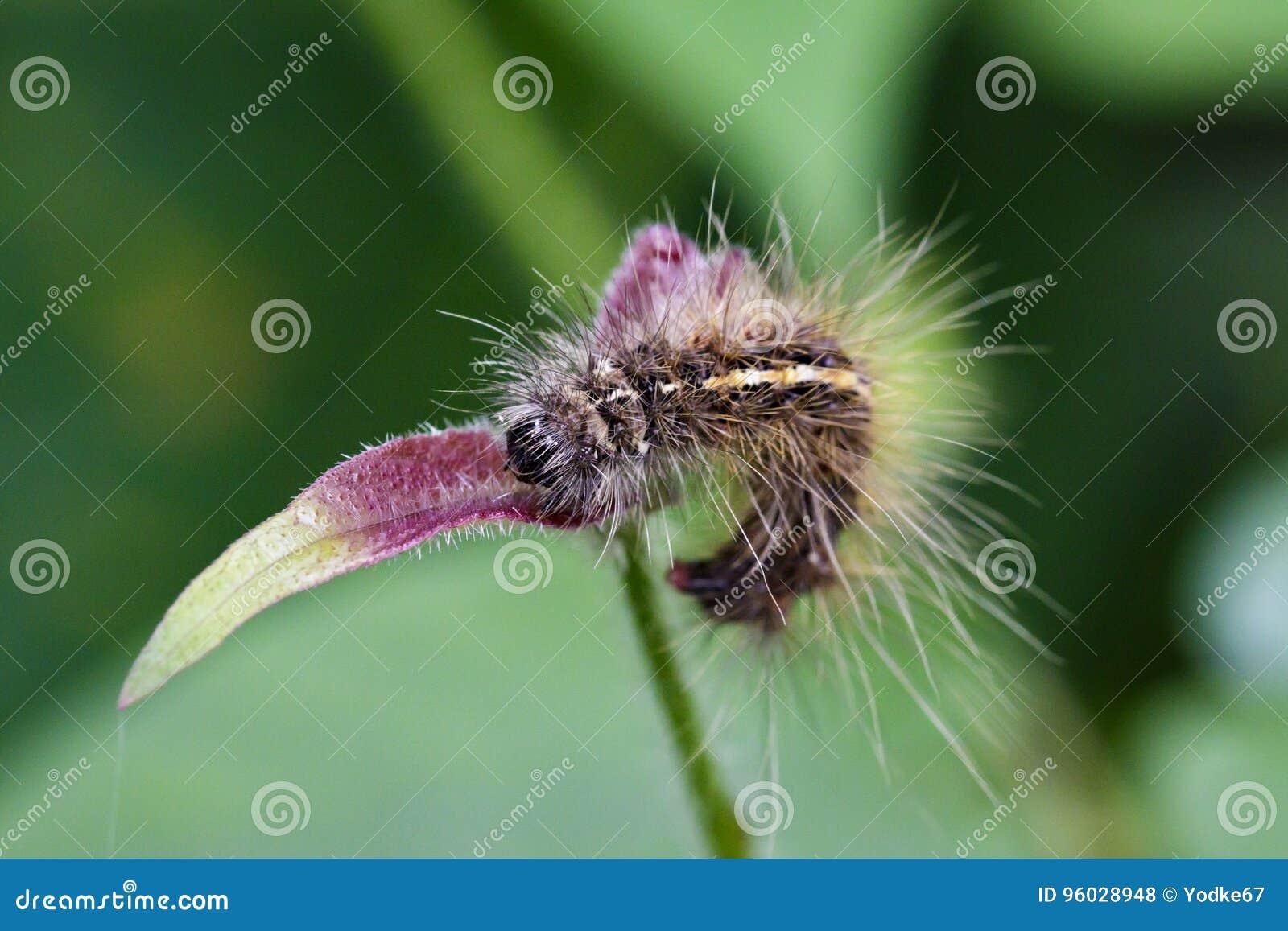 Wizerunek Kosmaty gąsienicowy Eupterote testacea
