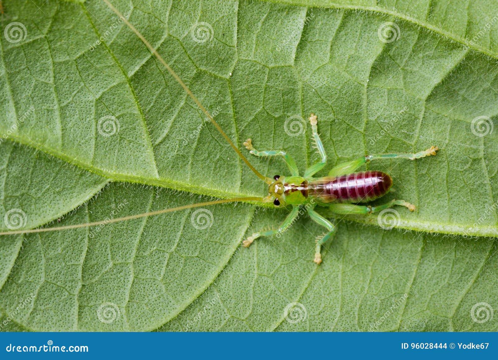 Wizerunek krykiet zieleń na zielonych liściach insekt