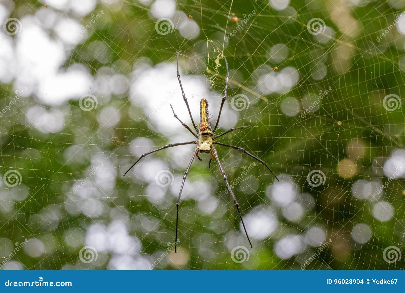 Wizerunek pająk Nephila Maculata, Gaint Ględził tkacza