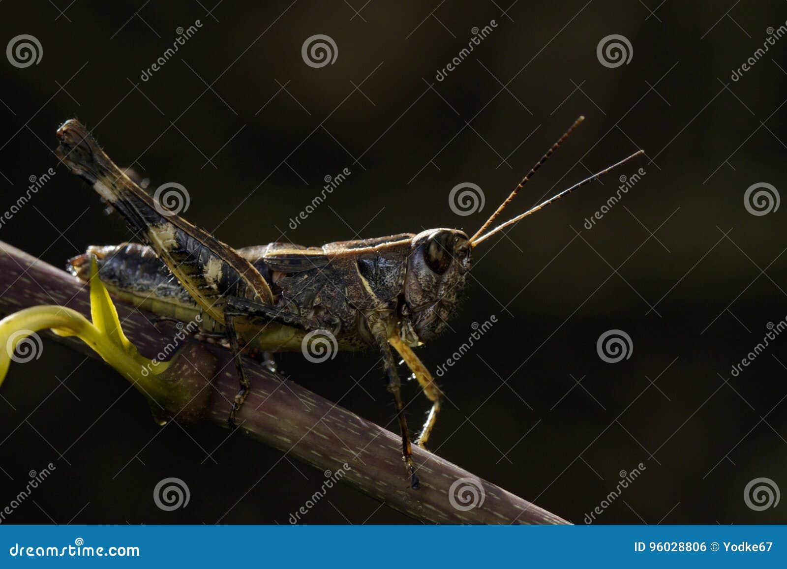 Wizerunek pasikoników brownAcrididae