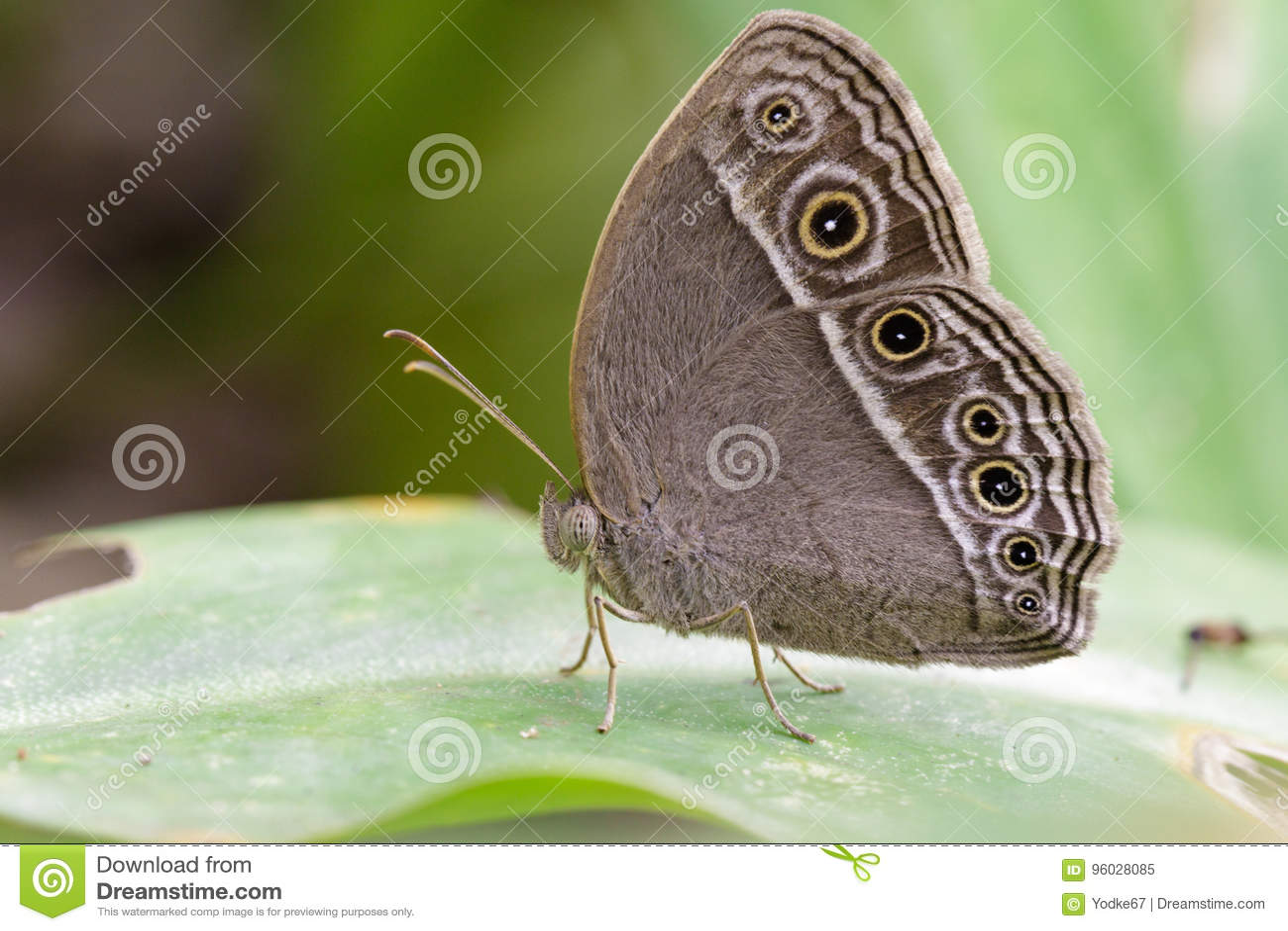 Wizerunek Pospolity Bushbrown motyl