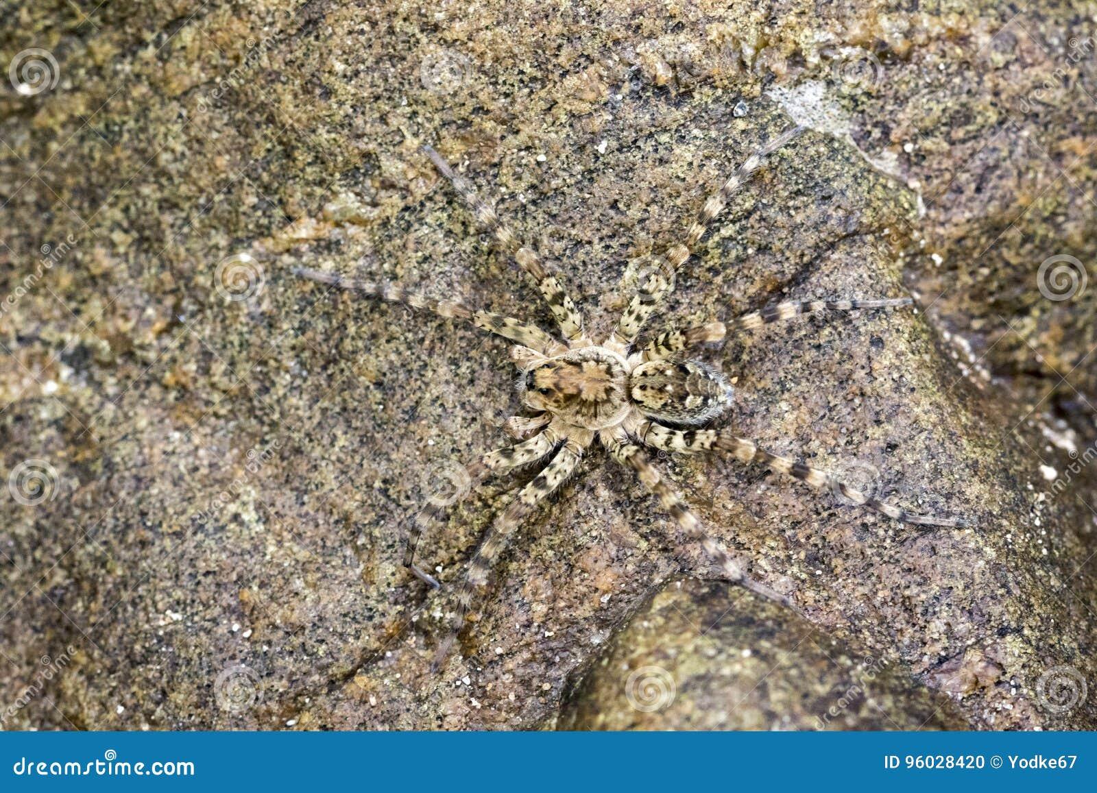 Wizerunek Rzeczni Huntress pająków Venatrix arenaris