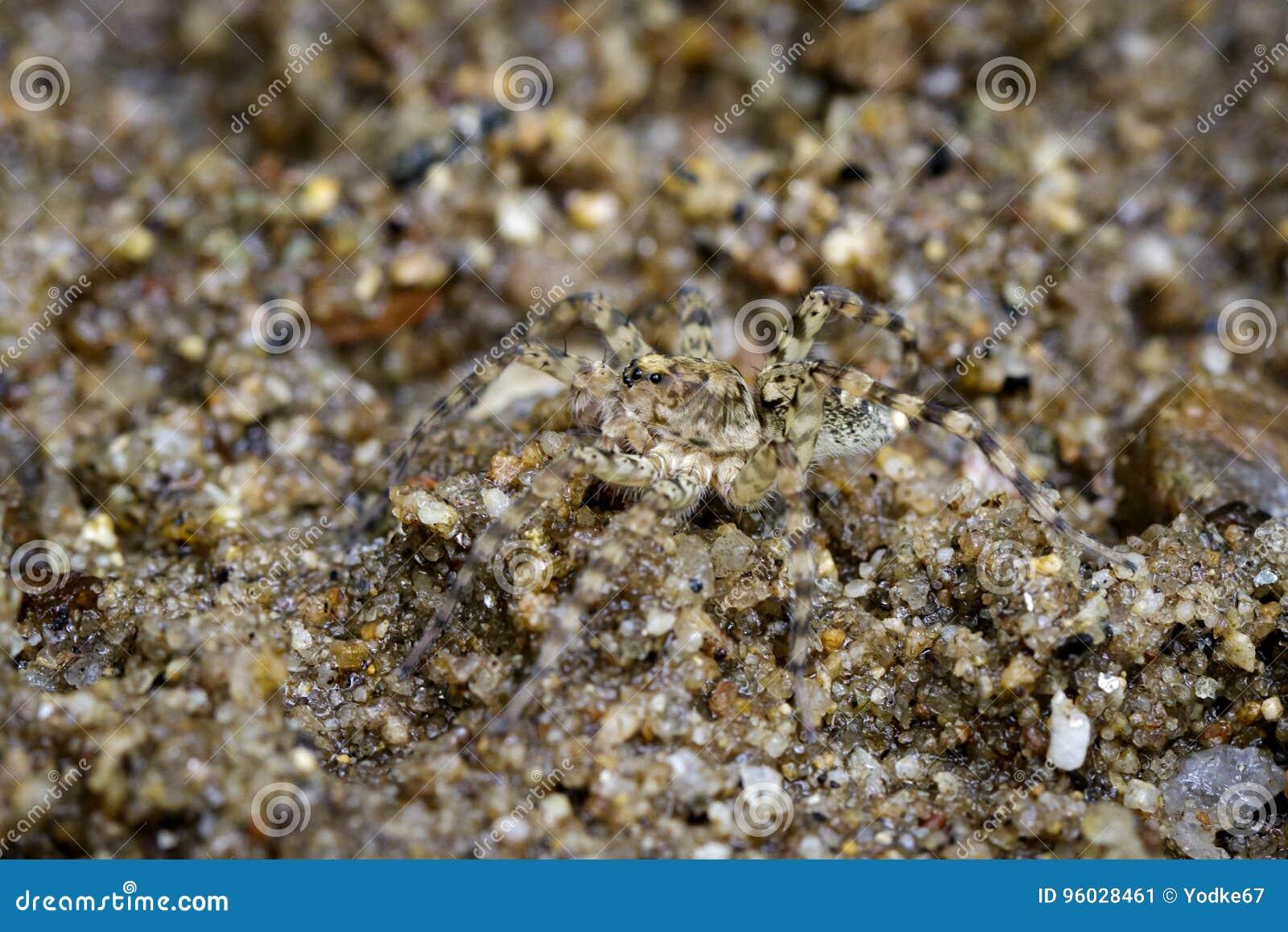 Wizerunek Rzeczni Huntress pająki na piasku