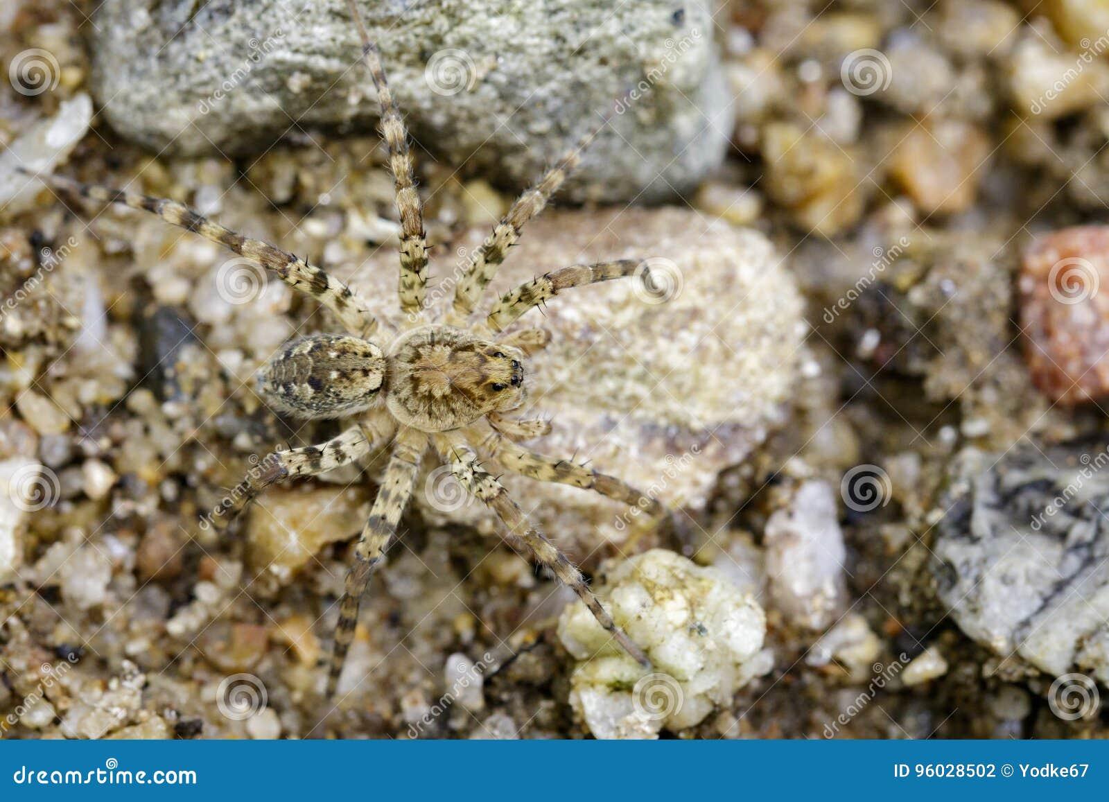 Wizerunek Rzeczni Huntress pająki & x28; Venatrix arenaris& x29; na skale