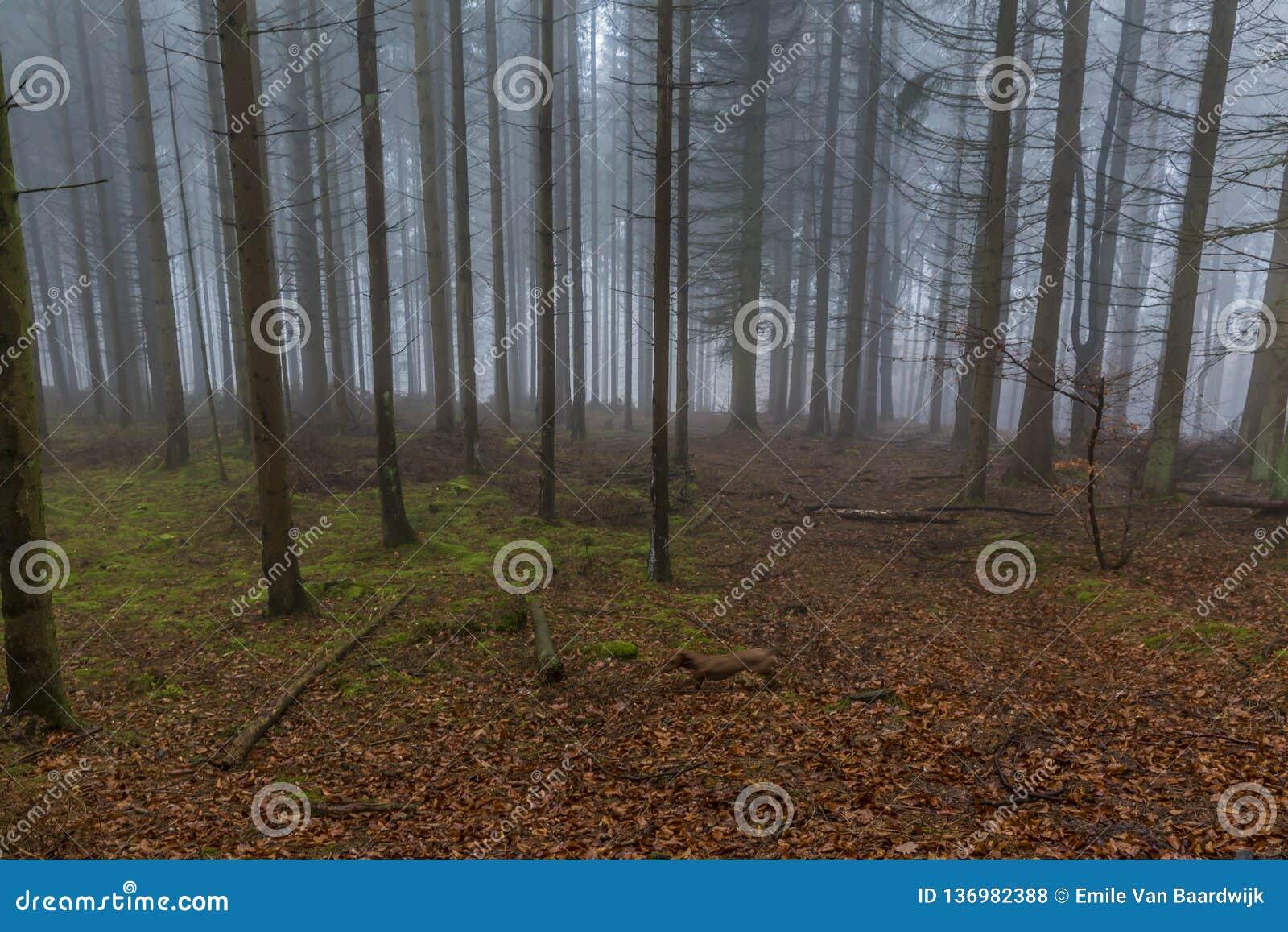 Wizerunek wysokie sosny w lesie z mech i liśćmi na ziemi z mnóstwo mgłą