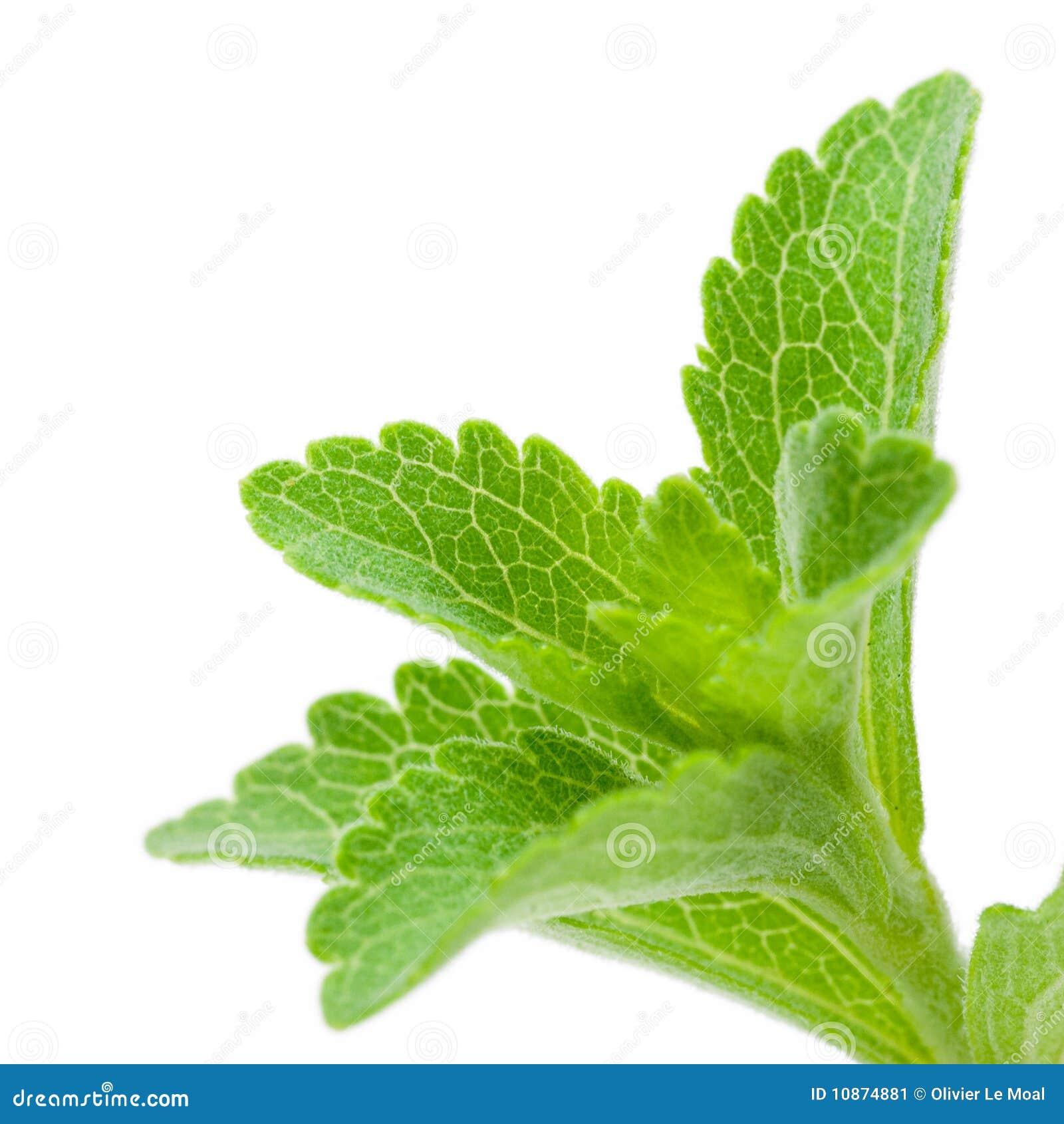Wizerunku rebaudiana stevia