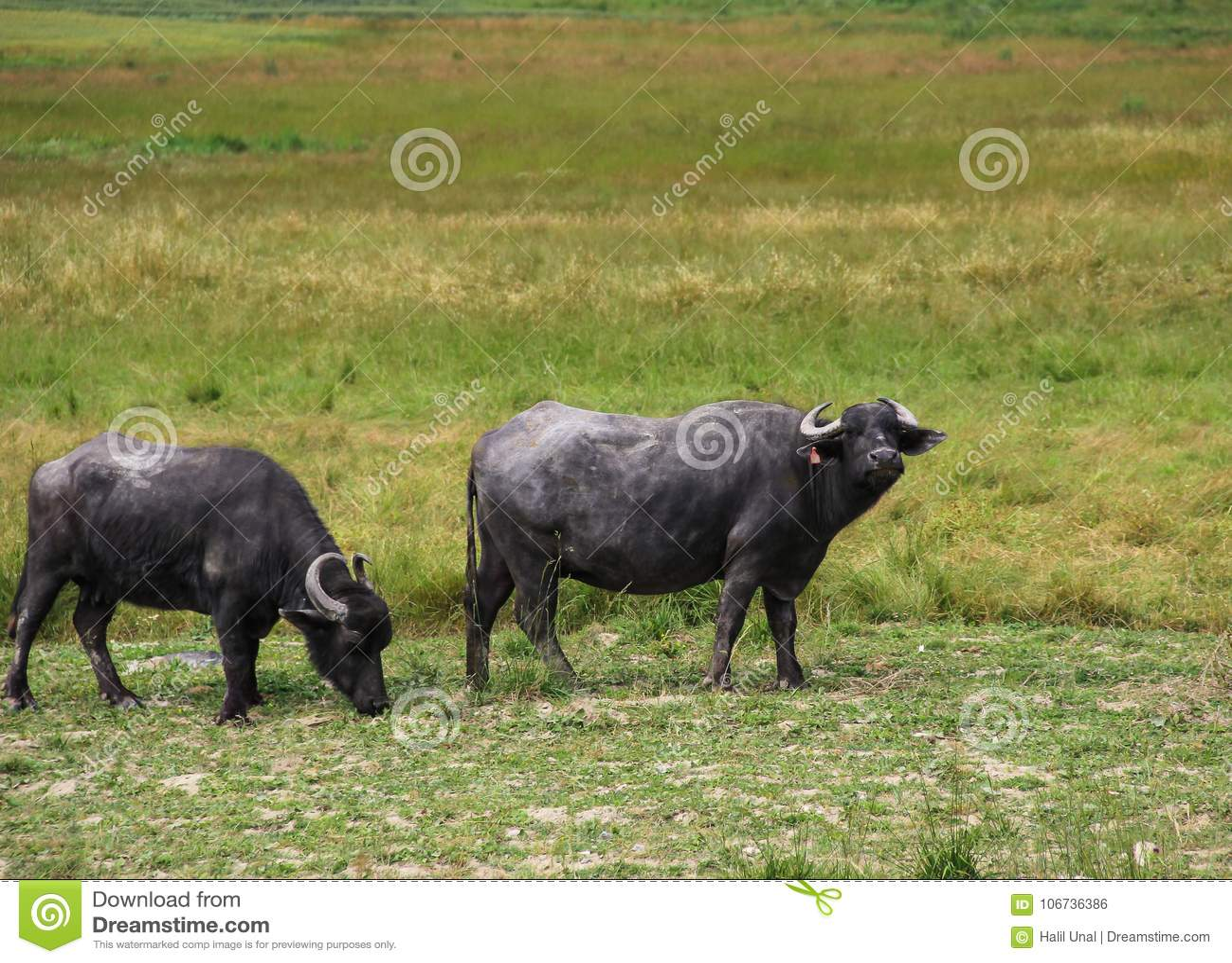 Wo-Büffel, die in den Weiden weiden lassen