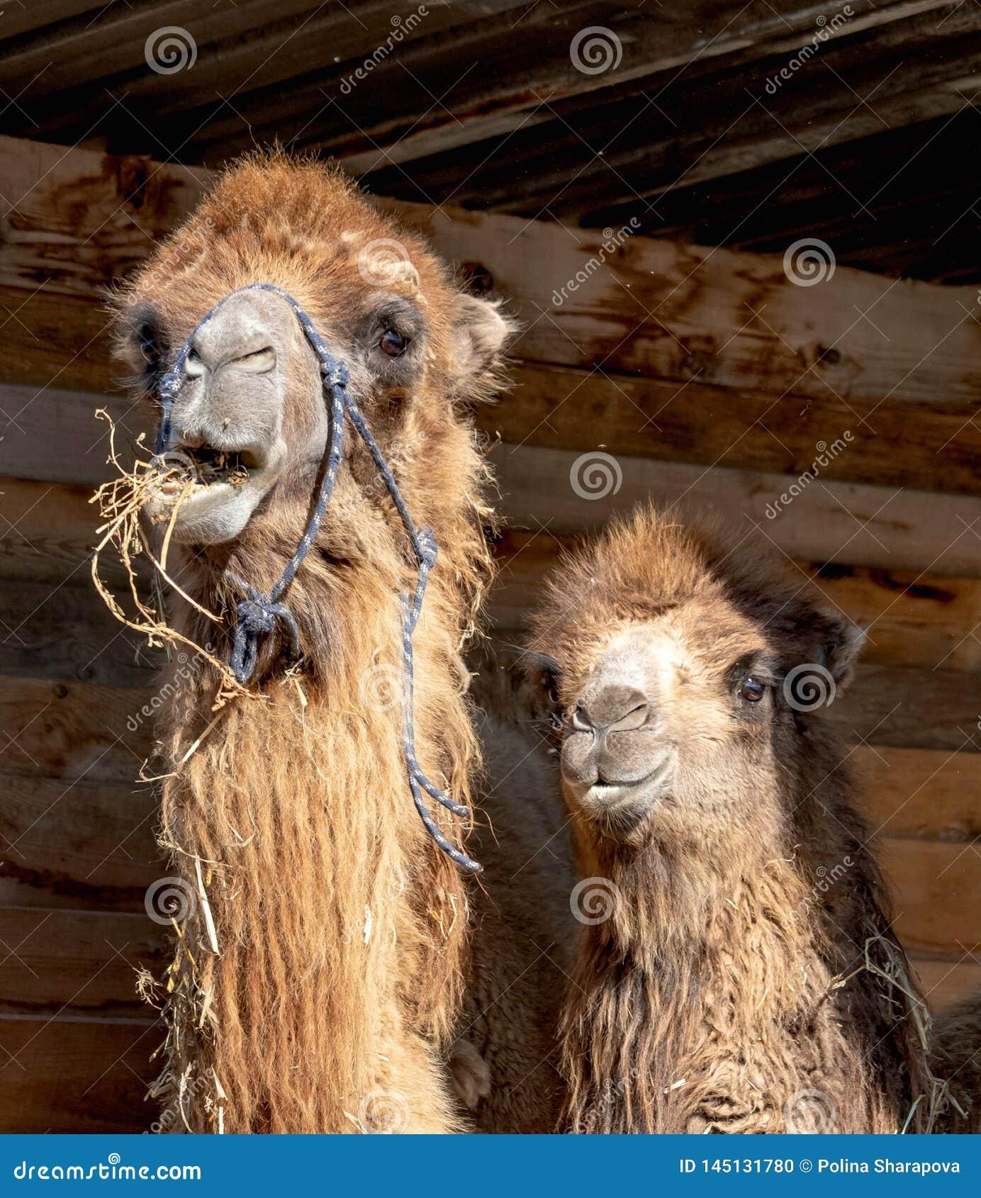 Wo leuke kamelen - het mamma en haar baby zijn in hun houten huis in het landbouwbedrijf