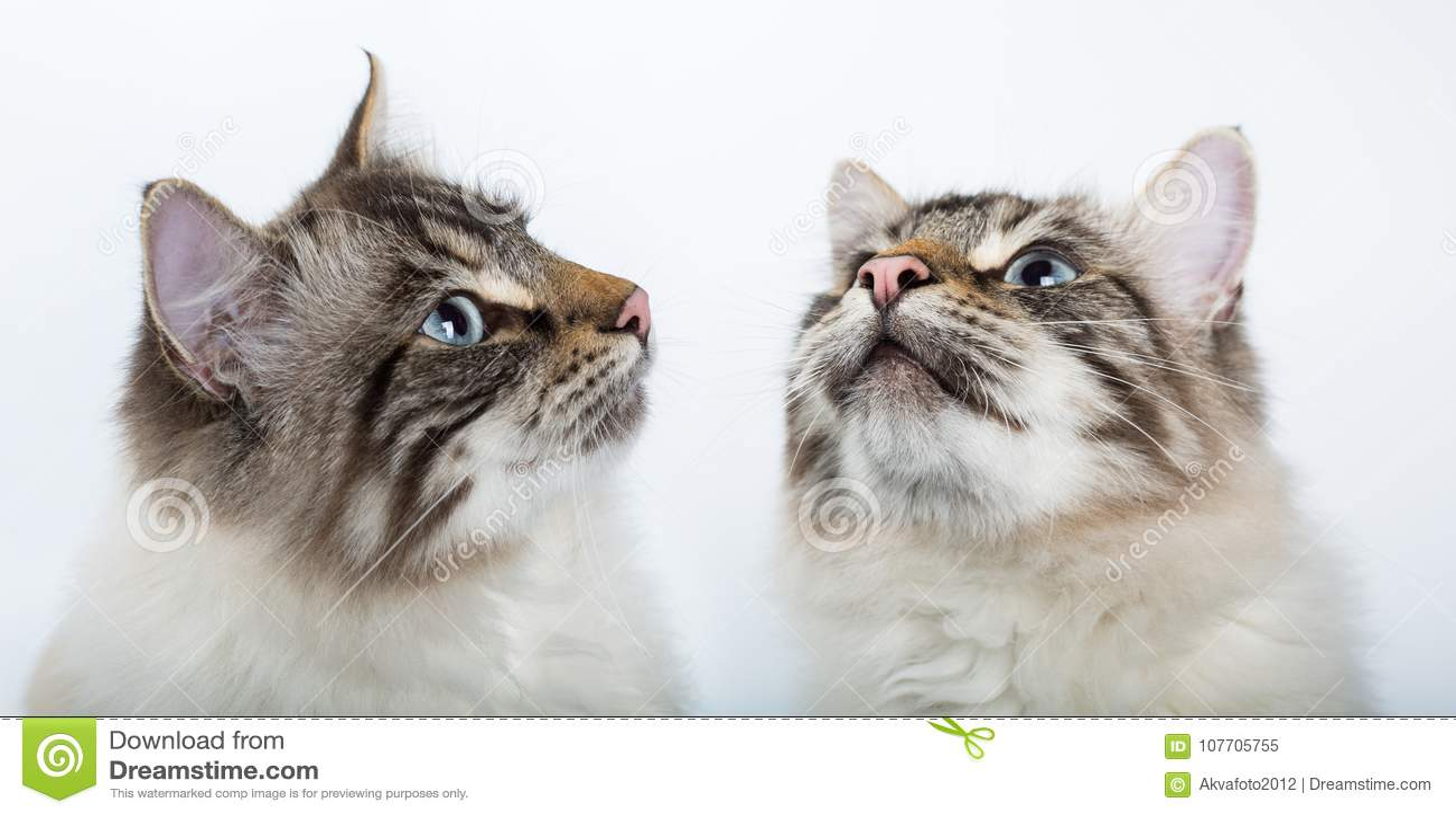 Download Wo Mooie Kattenclose-up Kijk Omhoog Stock Afbeelding - Afbeelding bestaande uit mooi, beeld: 107705755