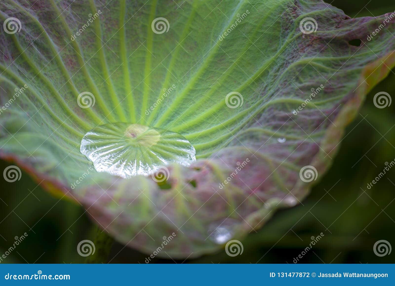 Woda na lotos zieleni liściu
