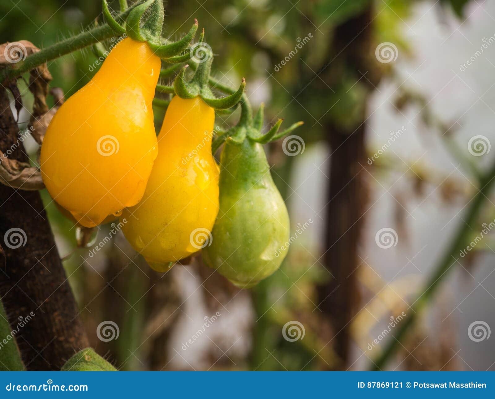 Wodna kropla na żółtym czereśniowym pomidorze