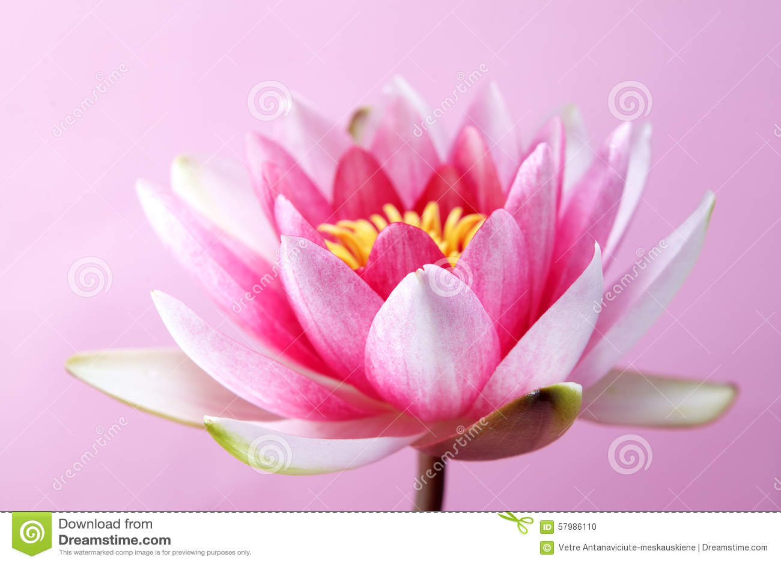 Wodna leluja, lotos na menchiach
