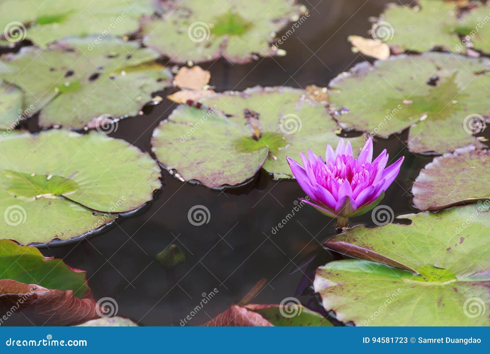 Wodna leluja lub lotos jesteśmy nadwodnym rośliną
