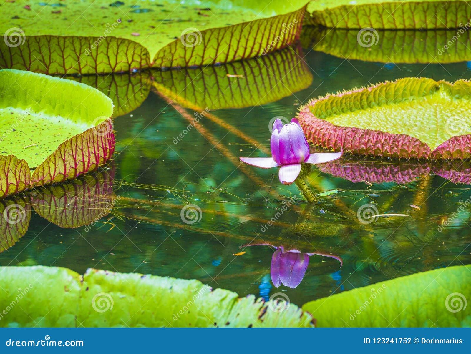 Wodna leluja, Wiktoria amazonica lotosowego kwiatu roślina Pamplemousses ogród botaniczny, Mauritius