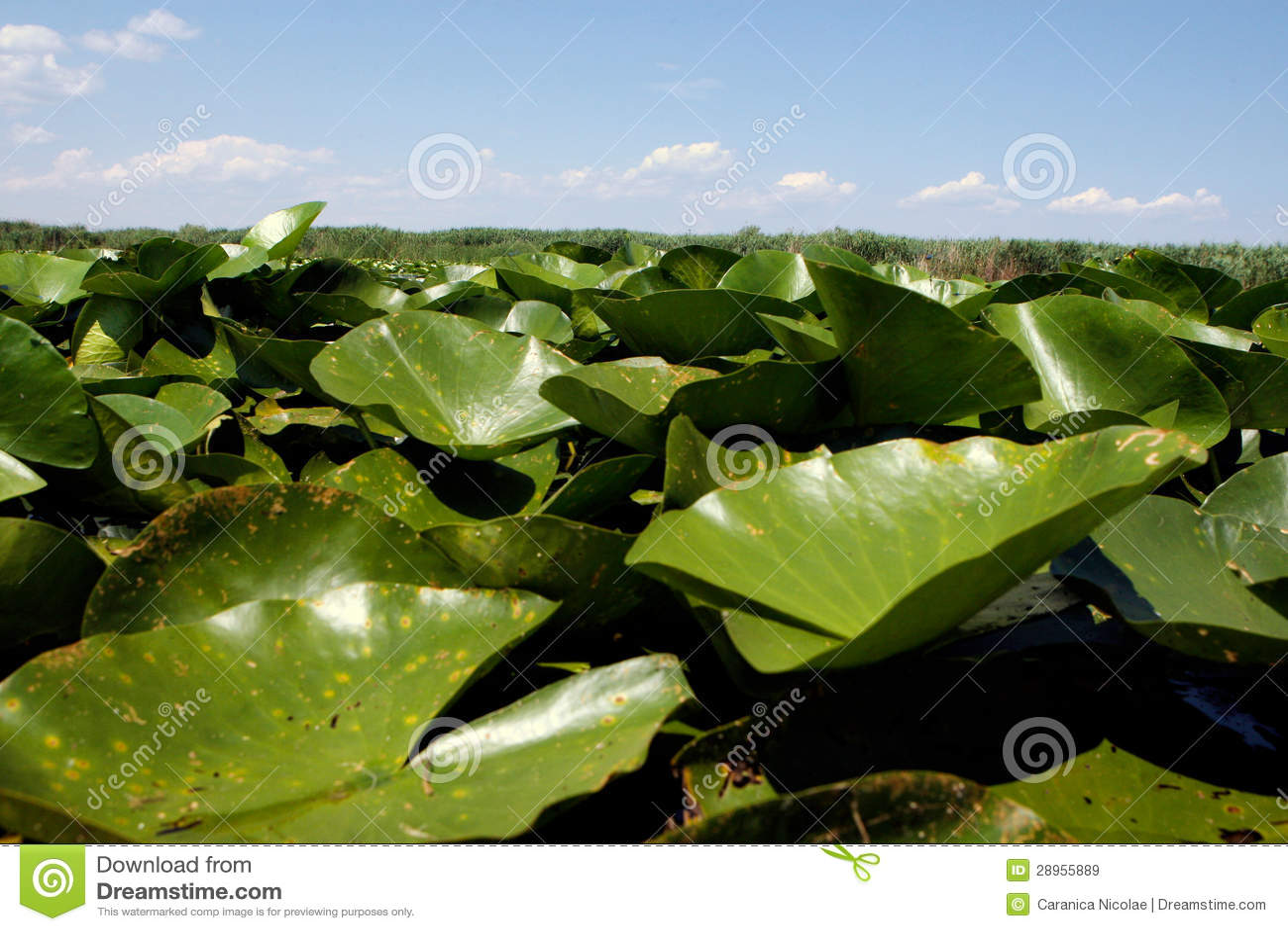 Wodne leluje