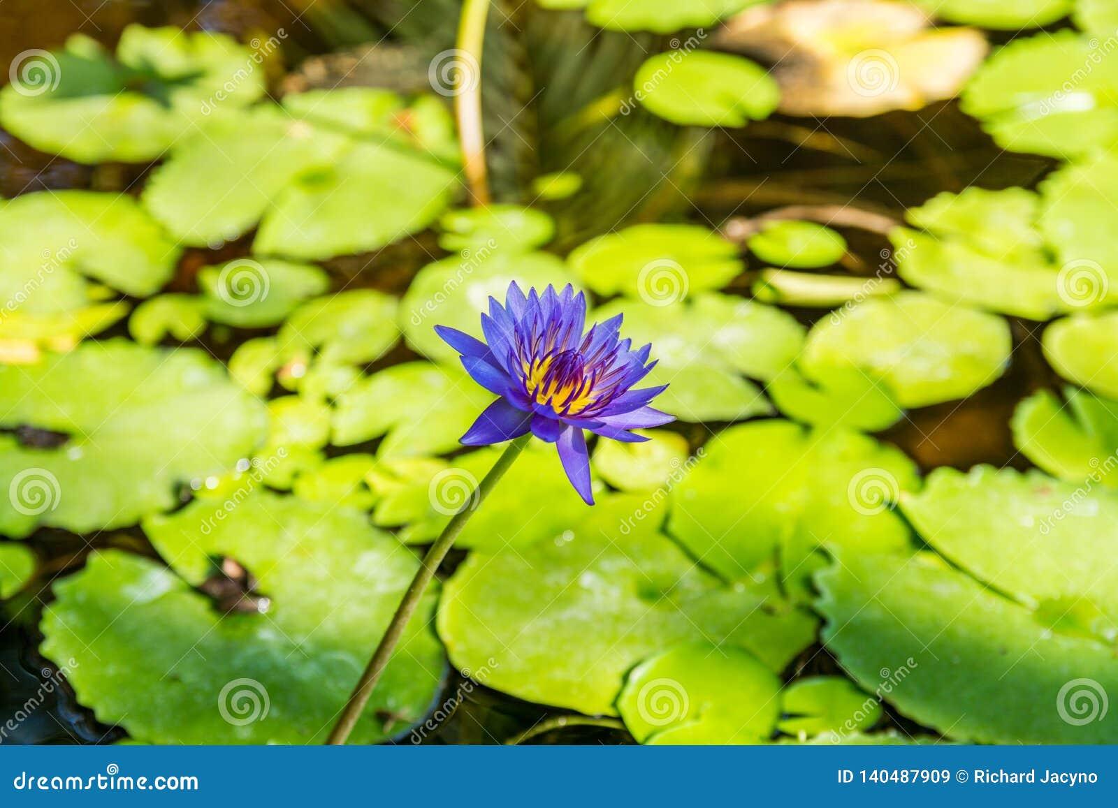Wodne leluje prosperują w gorącym klimacie Broome zachodnia australia