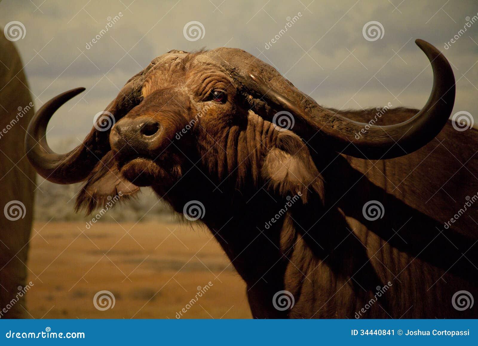 Wodny bizon
