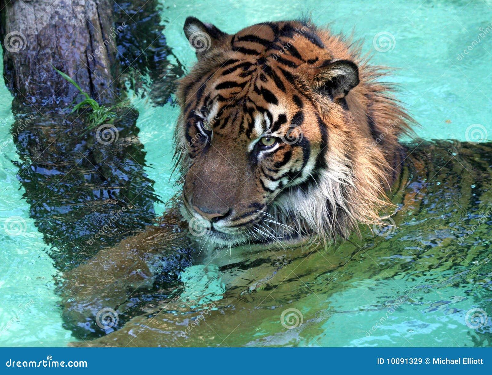 Wodny Tygrys