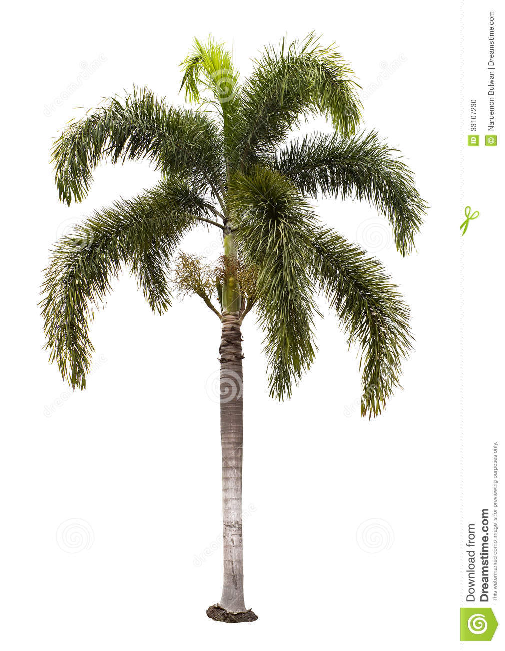 Wodyetia Bifurcata Palm Tree Isolated Stock Photo - Image: 33107230
