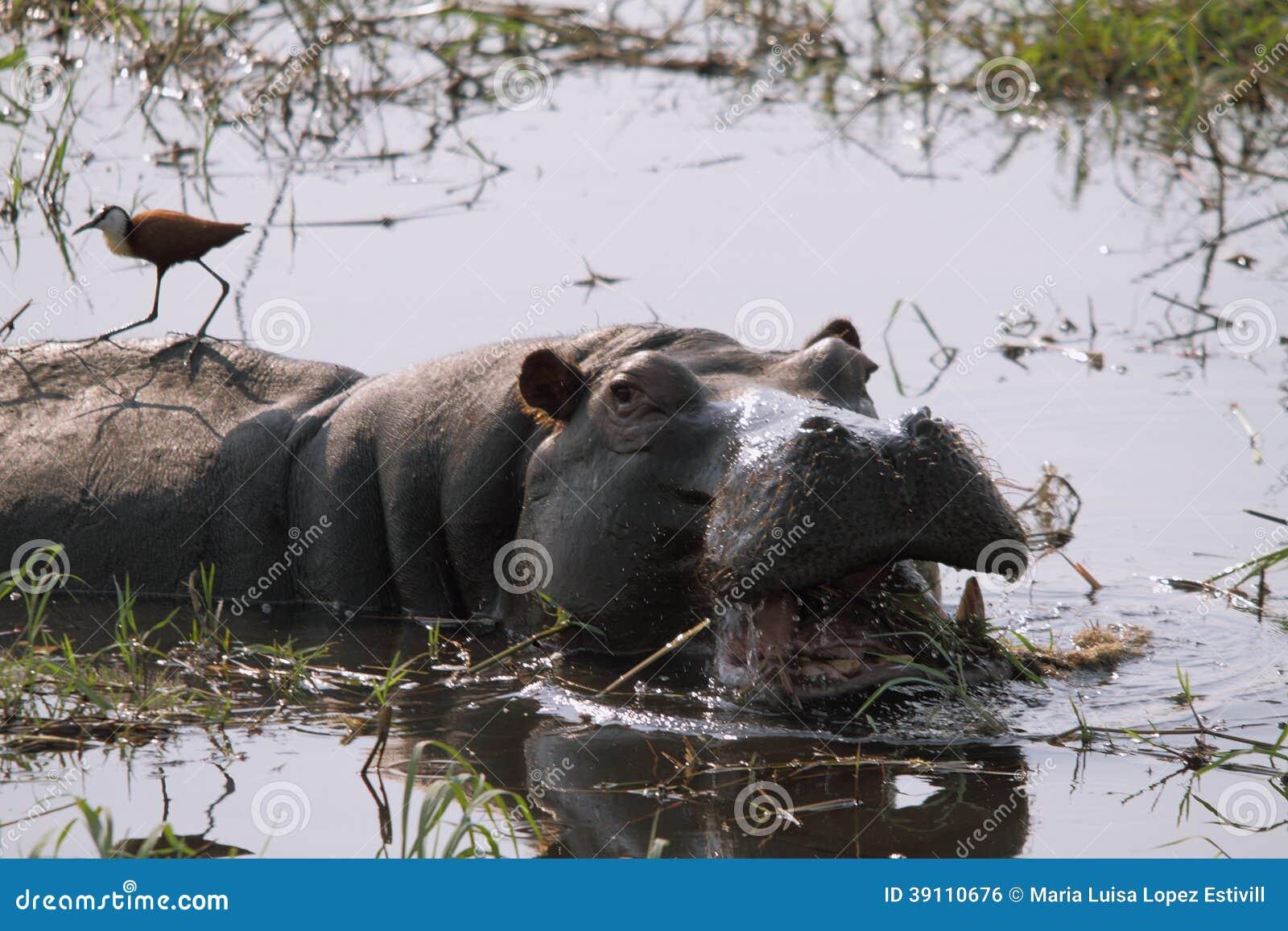 Woest nijlpaard met open mond