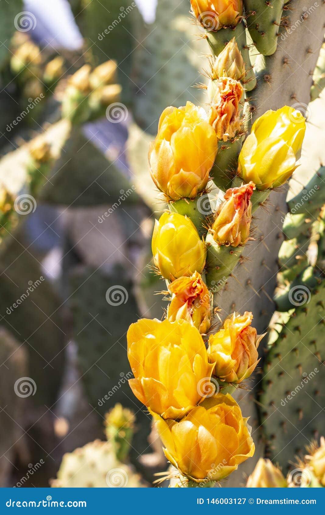 Woestijn gele cactus in bloei