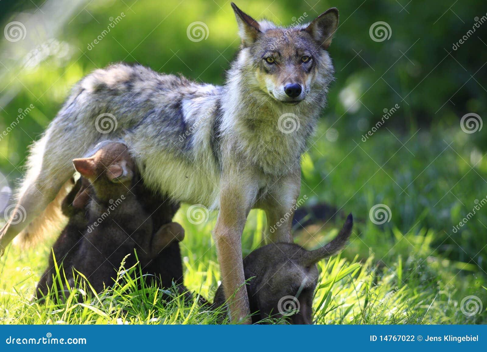 wolf stock photo  image of wild  animal  forest  wildlife