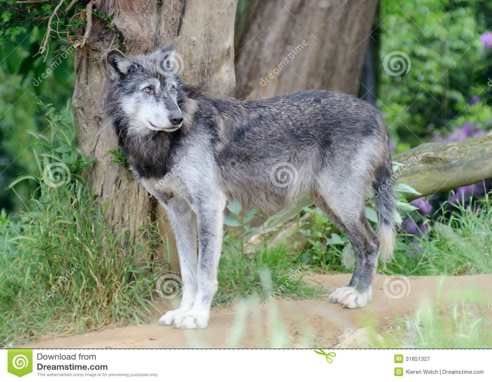 Wolf Alone