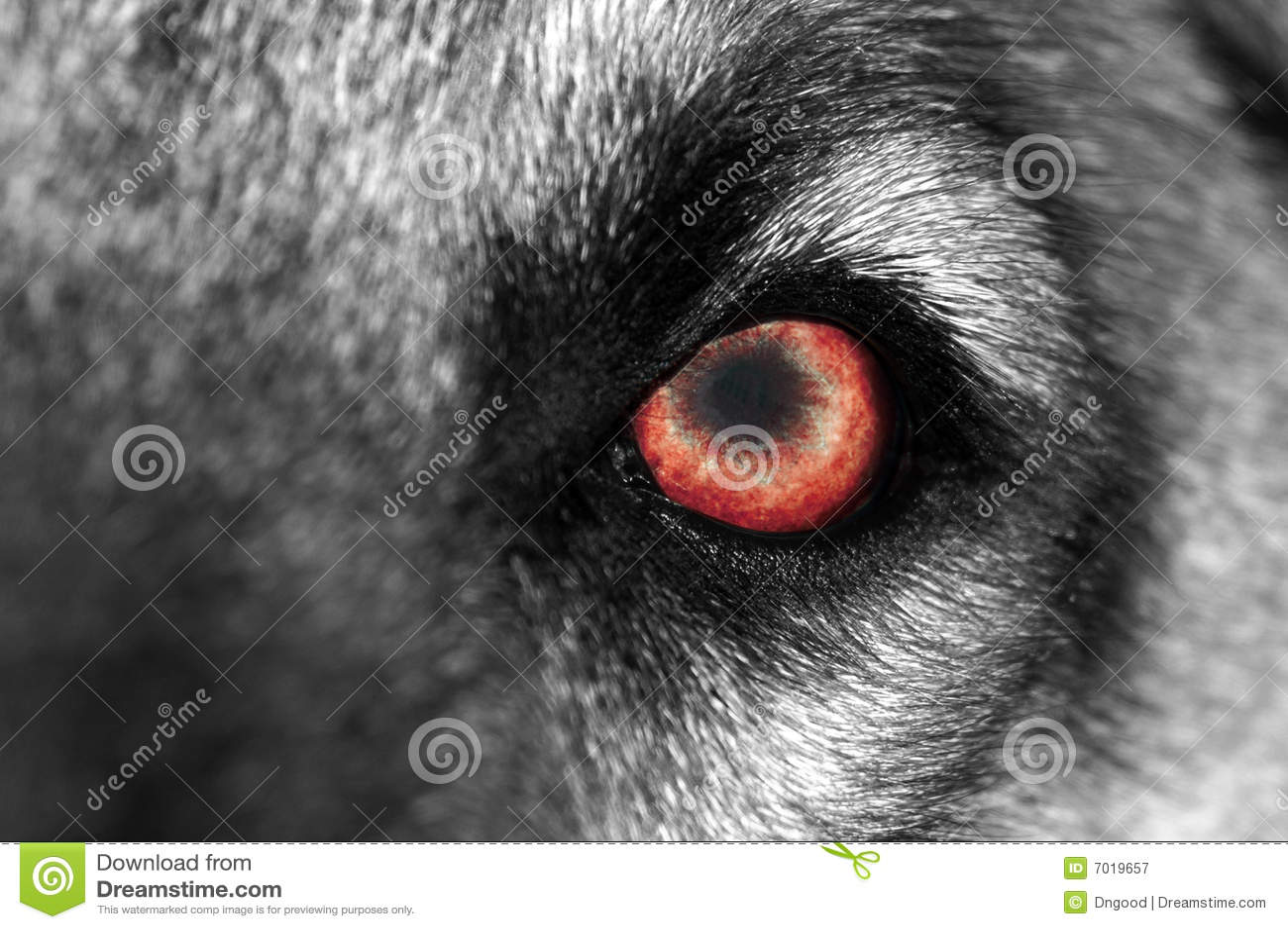 wolf auge rot lizenzfreie stockfotografie bild 7019657. Black Bedroom Furniture Sets. Home Design Ideas