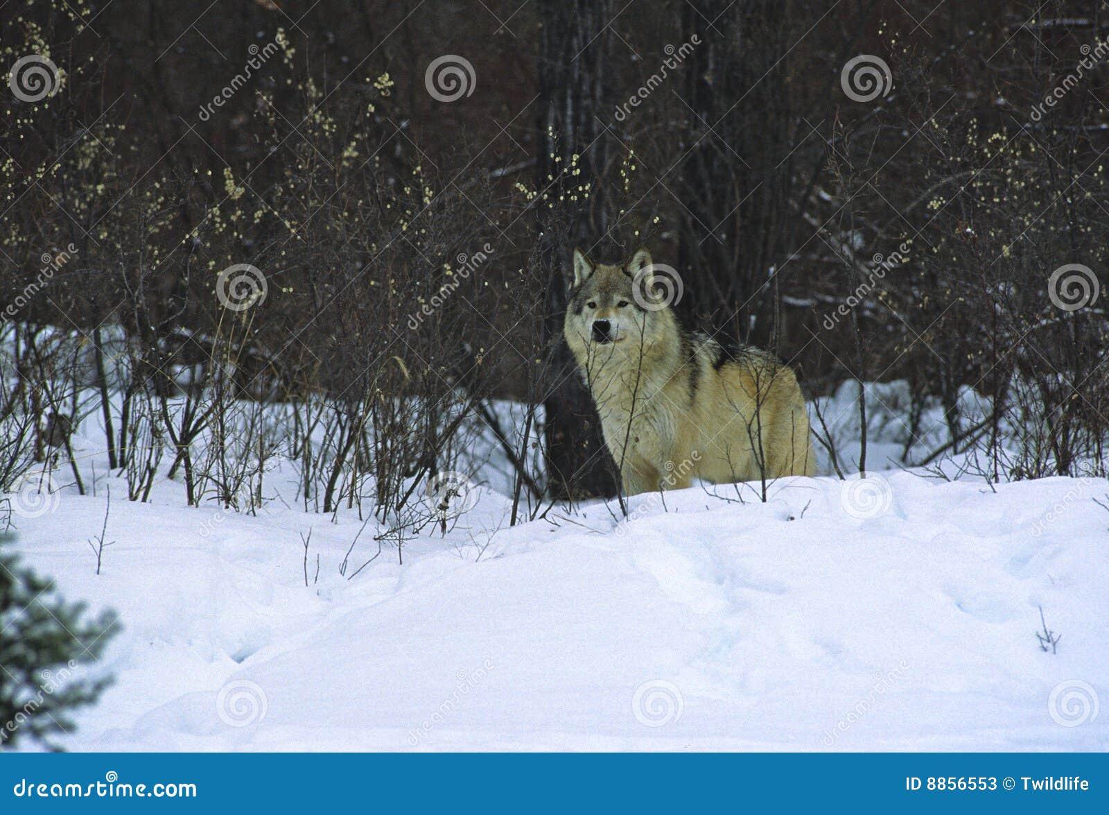 Wolf in Brush
