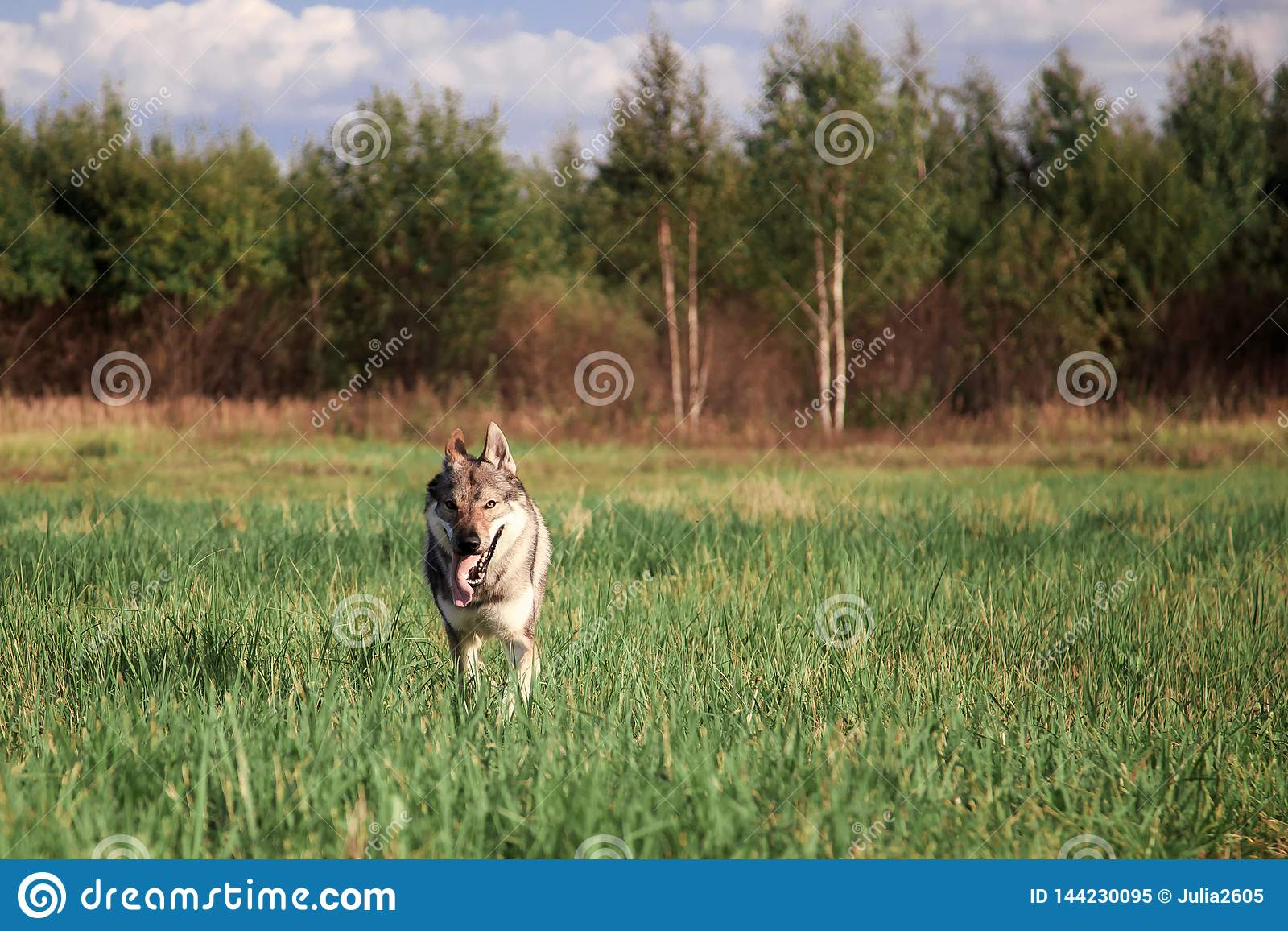 The wolf came out of the woods. Wolf runs across the field.