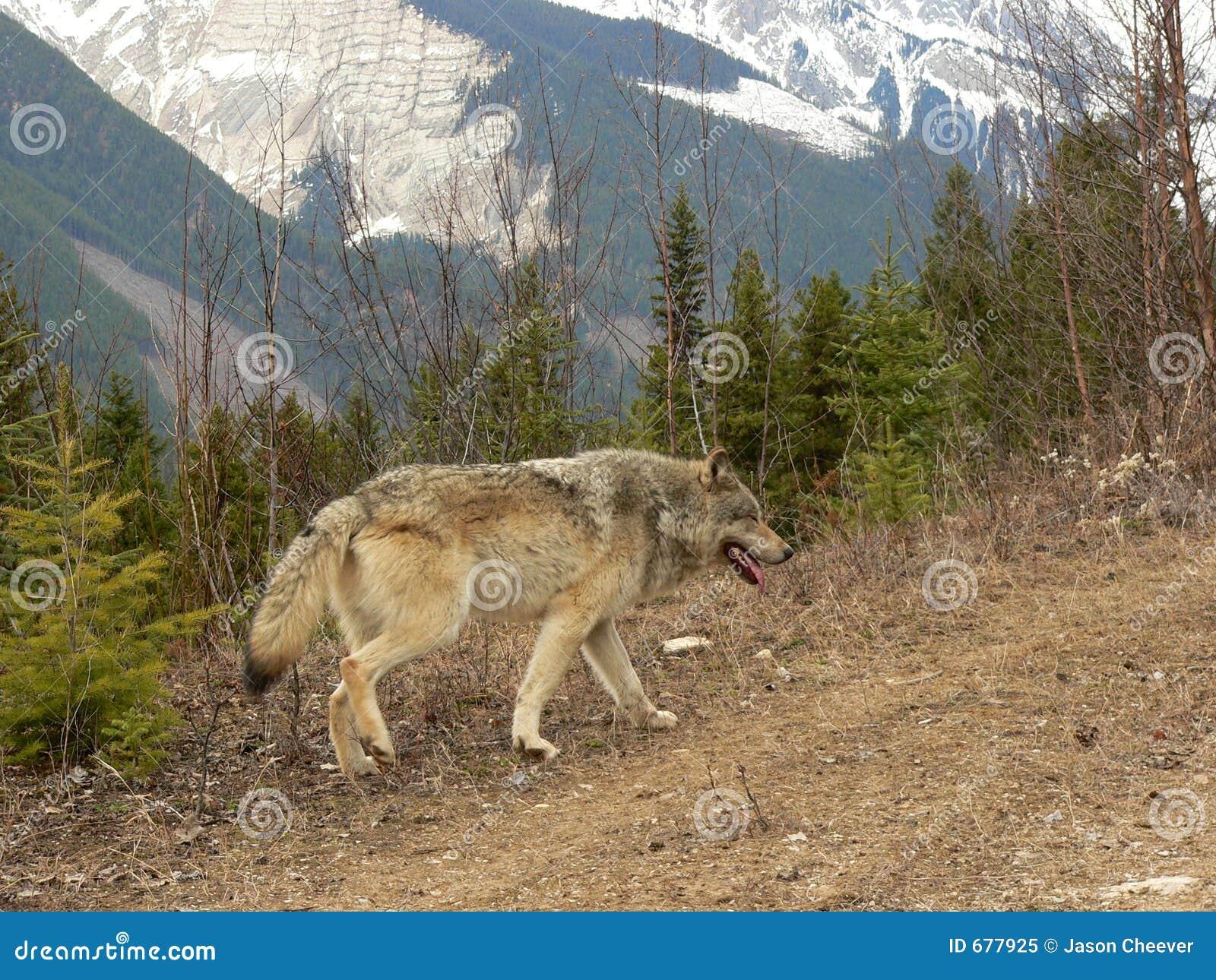Wolf in Canadese Rotsachtige Bergen