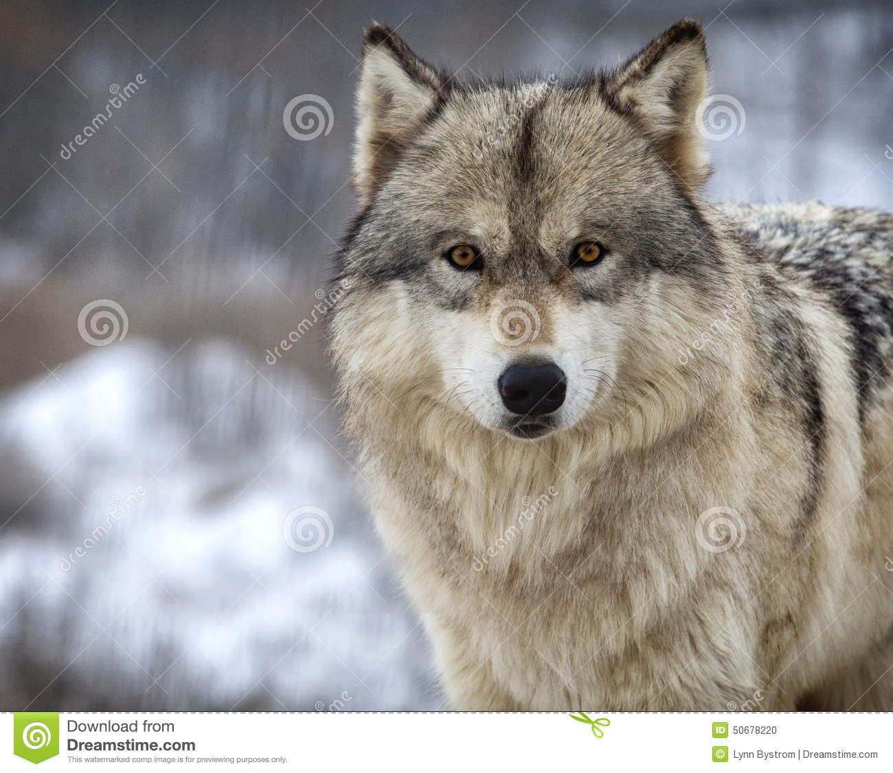Wolf Stock Photo Image 50678220