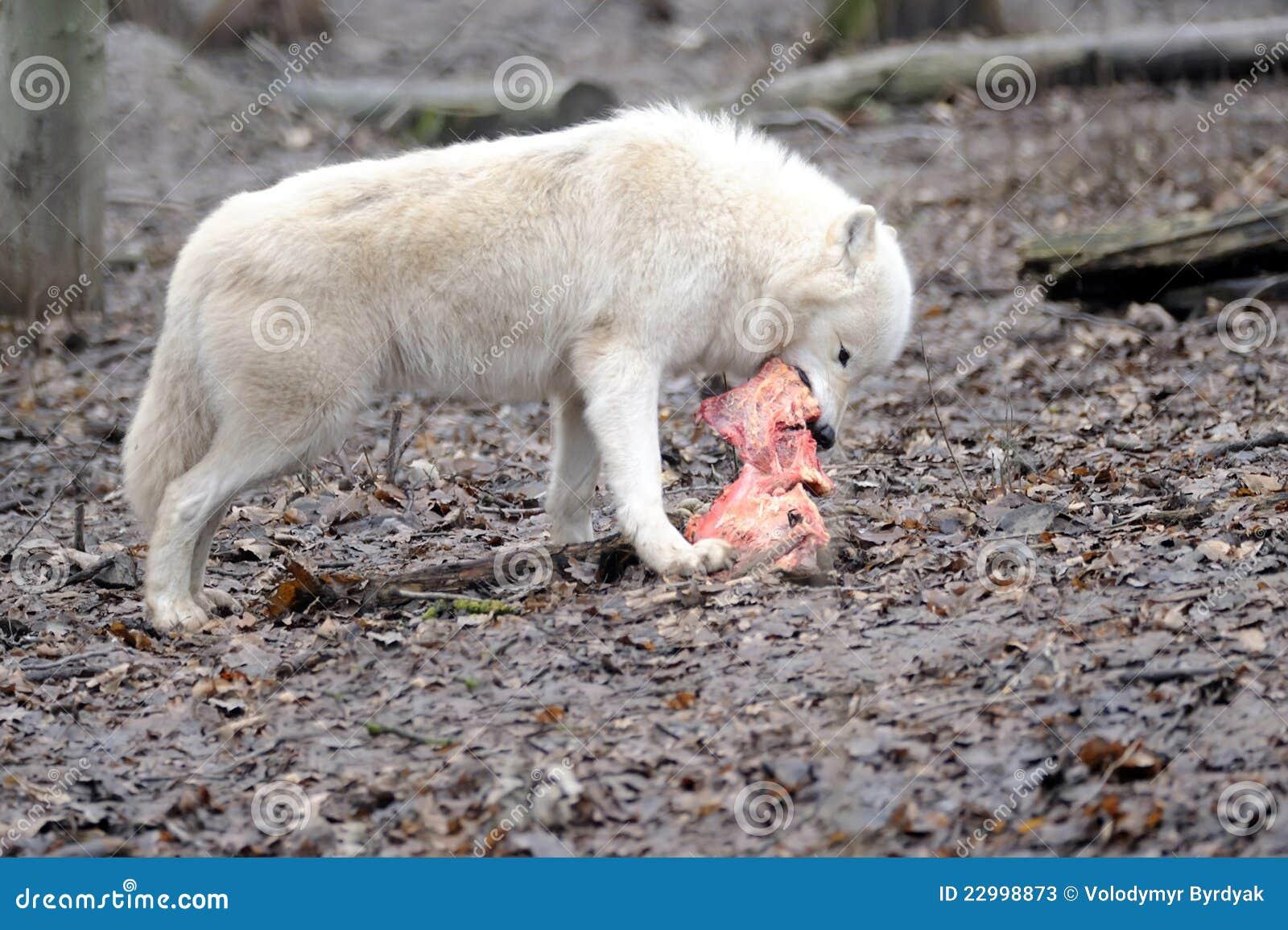 Wolf essen