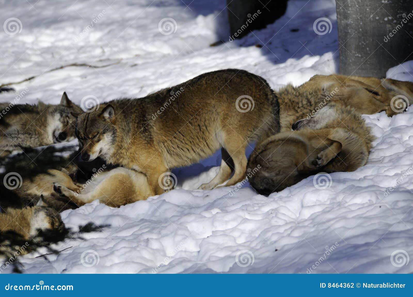 Wolf för eurasianpackesnow