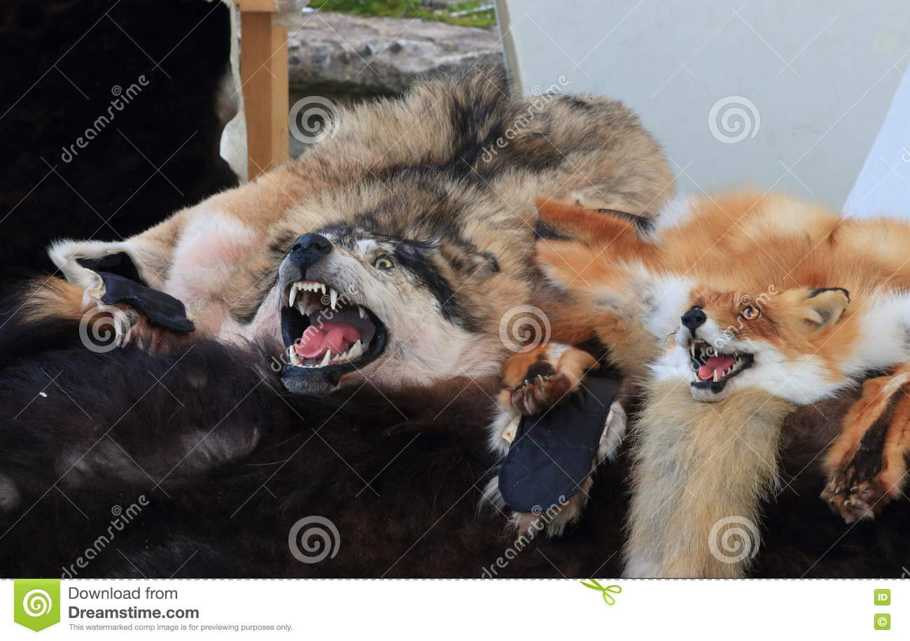 Wolf and fox skins with their heads on the dealer tray