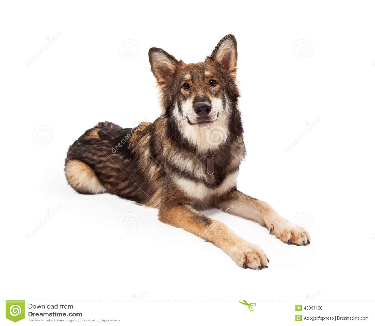 wolf and german shepherd cross dog laying stock photo border collie clipart outline border collie puppy clipart