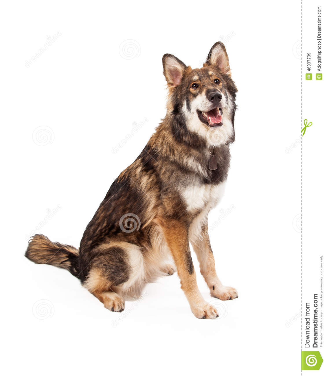 Wolf And German Shepherd Cross Dog Sitting Stock Photo ...